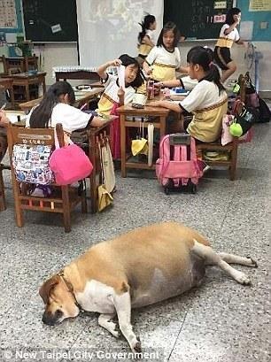 Hài hước chú chó phát phì vì được học sinh cho ăn quá nhiều - 5