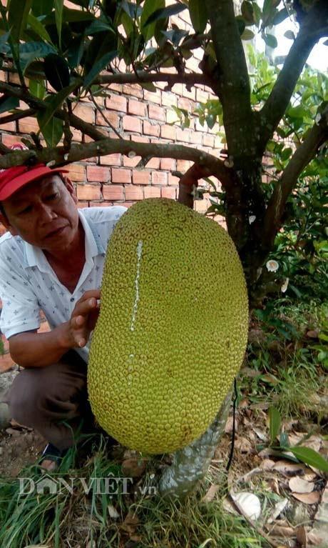 Mít Thanh Sơn nếu để số lượng trái ít thì trái mít to hết cỡ khổng lồ, có trái đạt 43 ký.
