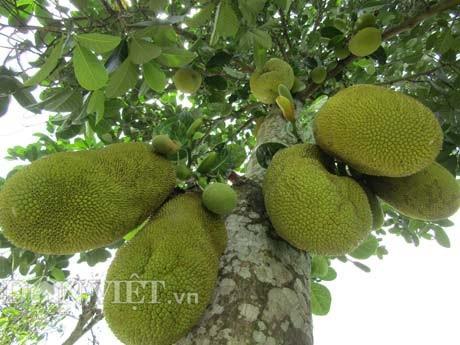 Giống mít Thanh Sơn do ông Nguyễn Thanh Sơn lai tạo ra cho trái rất sai.
