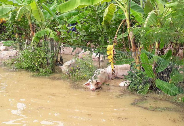 Nước lũ dâng cao đã nhấn chìm trang trại lợn của người dân ở huyện Cẩm Thủy (Thanh Hóa). Hàng nghìn con lợn bơi trong dòng nước lũ. Chính quyền địa phương phối hợp với người dân giải cứu đàn lợn, đưa đến nơi an toàn. (Ảnh: Duy Tuyên)
