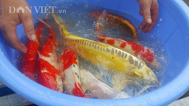 Nuôi loài cá nghìn đô trên sông Hồng, mỗi năm bỏ túi cả tỷ đồng. - 4