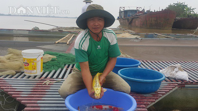Nhờ nuôi cá Koi trên sông Hồng mà gia đình anh Phan Văn Sơn có thu nhập hàng tỷ đồng/năm.