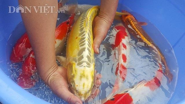 Cá Koi có thể sống tới cả trăm năm tuổi, bình thường nuôi trong hồ nhân tạo nó cũng thể sống tới 25 - 35 năm, trọng lượng của cá Koi có thể lên tới hàng chục kg.