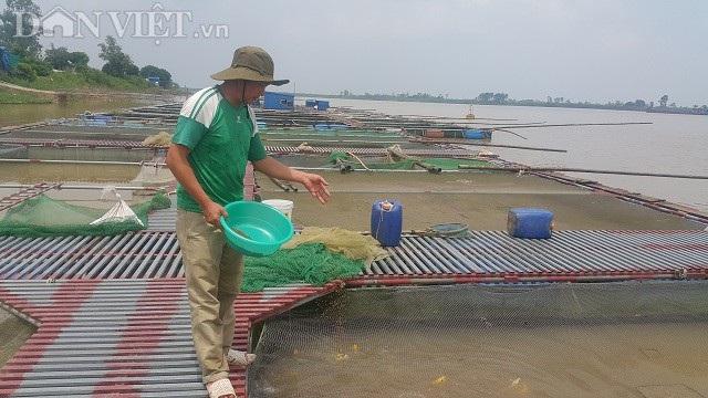 Cận cảnh quy mô trang trại cá Koi cua anh Phan Văn Sơn trên sông Hồng đoạn chảy qua địa phận xã Mỹ Tân, huyện Mỹ Lộc.