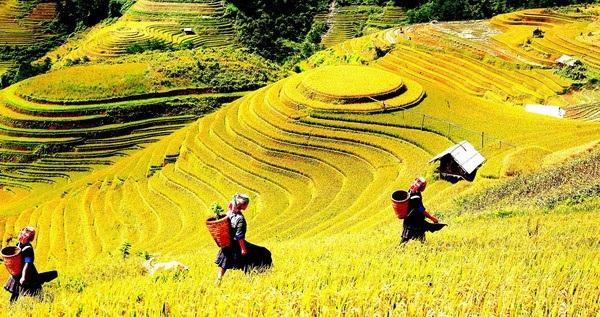 Sapa mùa lúa chín không chỉ có sức hút với du khách mà ngay cả những nhiếp ảnh gia chuyên nghiệp cũng phải lòng.