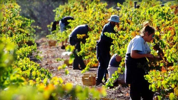Nhu cầu lao động trong lĩnh vực trồng và thu hoạch nông sản của Australia rất lớn. Ảnh: Internet