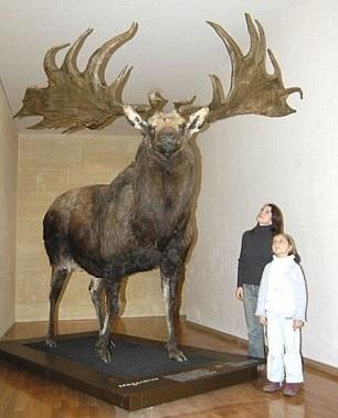 Loài nai sừng tấm Ireland có thể cao tới hơn 2,1 mét