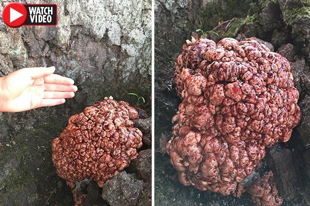 Một dạng nấm phát triển trông giống như bộ não người.