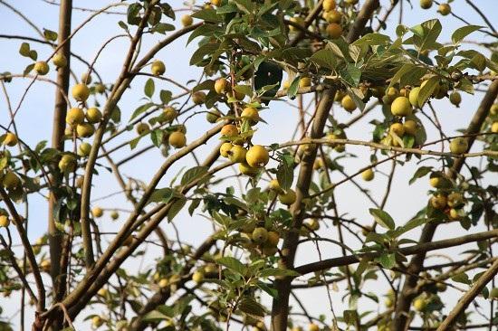 Ở nơi heo hút, trai trẻ vẫn sống khỏe nhờ trồng táo mèo - 4
