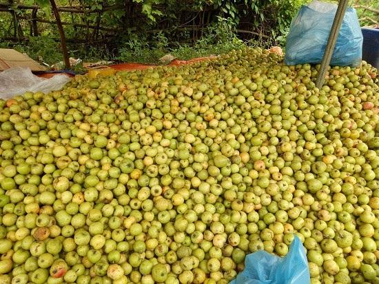Ở nơi heo hút, trai trẻ vẫn sống khỏe nhờ trồng táo mèo - 6