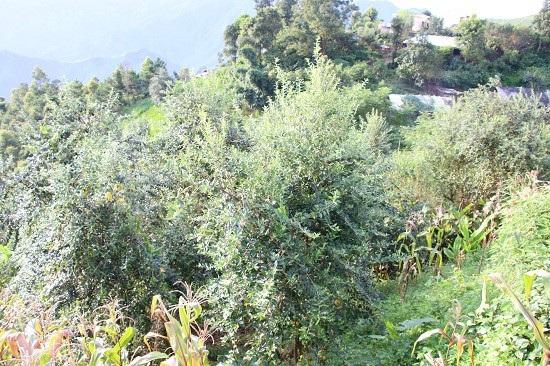 Ở nơi heo hút, trai trẻ vẫn sống khỏe nhờ trồng táo mèo - 2