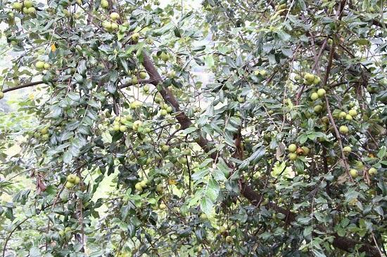 Ở nơi heo hút, trai trẻ vẫn sống khỏe nhờ trồng táo mèo - 3