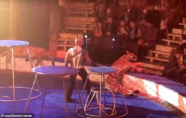 Hổ Zena đã ngã quỵ và dường như có triệu chứng co giật