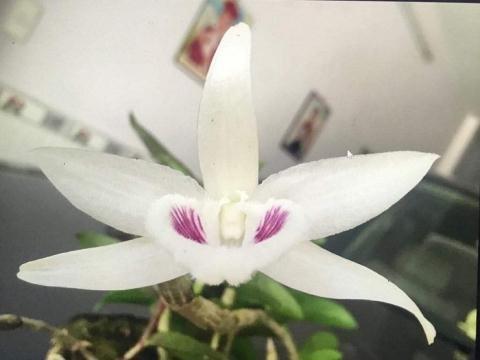 Mặt hoa lan Giã Hạc đột biến 5 cánh trắng mới gia dịch ở Đà Nẵng.