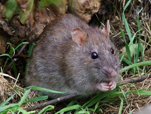 Chuột được cho là vật chủ truyền căn bệnh trên đến người đàn ông - ảnh minh họa từ internet