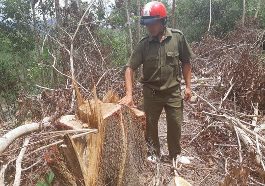 Các đối tượng đã lợi dụng việc tận thu gỗ gãy đổ để phá rừng