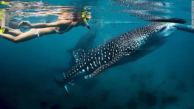 Du khách có thể lựa chọn dịch vụ bơi cùng cá mập voi tại vùng biển của Philippines