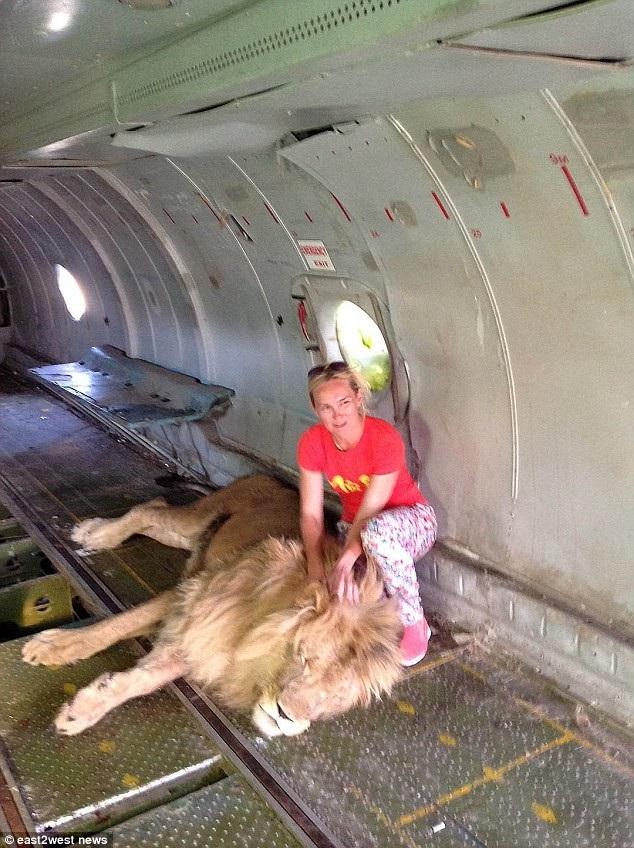 Trước đó, một vị khách người Nga bị chính một trong những con sư tử trong vườn thú này tấn công và bị thương nặng ở tay