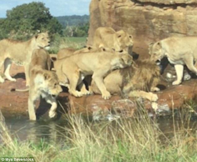 Sư tử đực bị cả bầy sư tử cái lao tới cắn xé