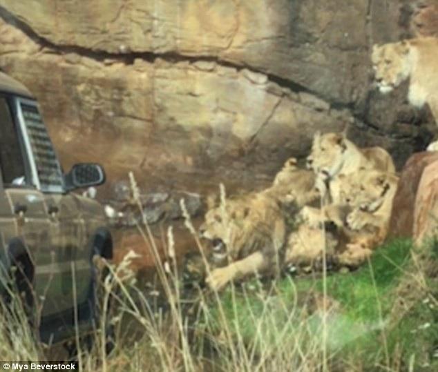 Trước sự tấn công dữ dội và áp đảo về số lượng, sư tử đực chỉ biết bất lực và gầm lên vì đau đớn