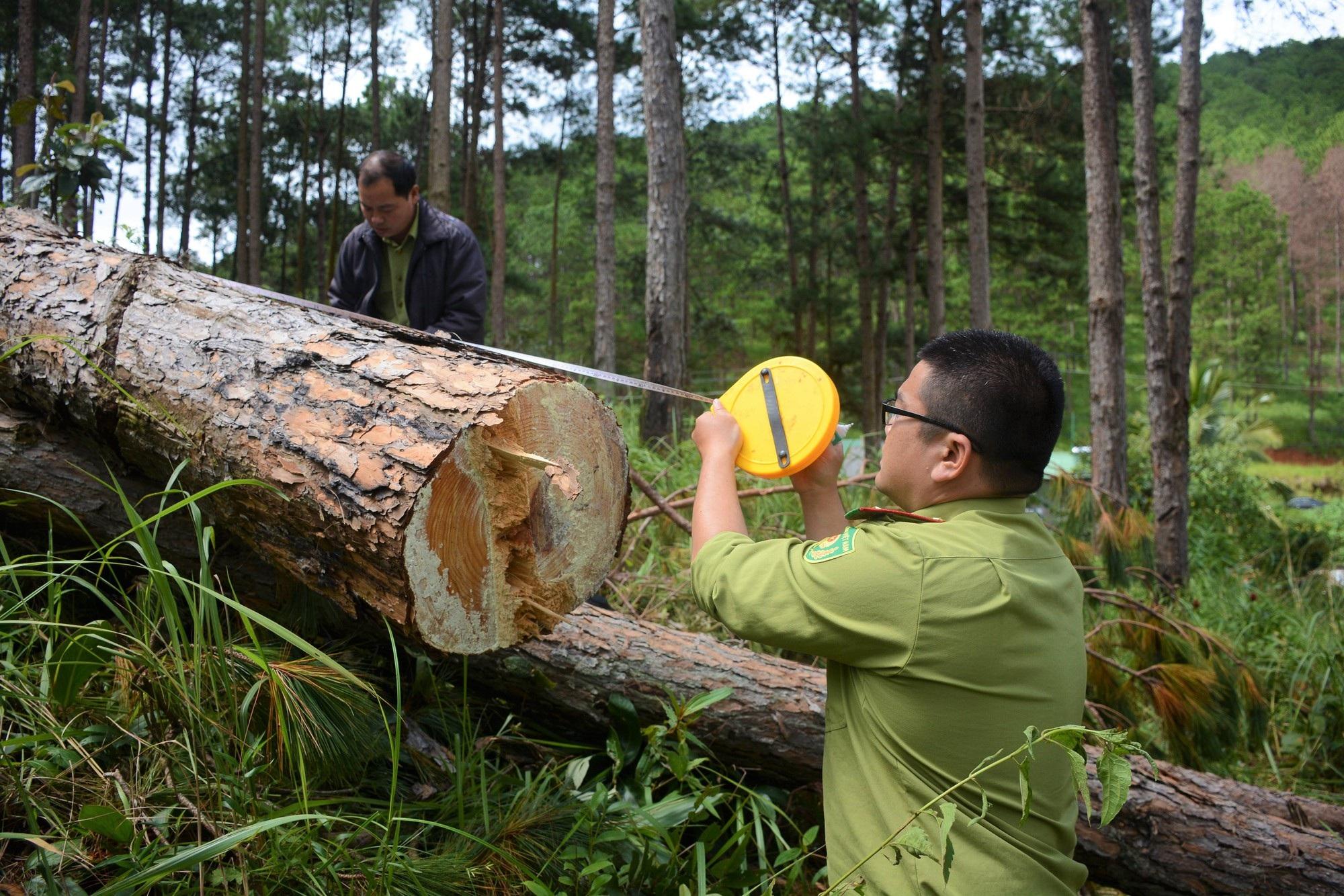 Điều tra vụ hàng trăm cây thông bị đầu độc tại Lâm Đồng - Ảnh 1.