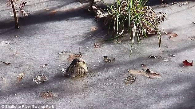 """Những con cá sấu ở Mỹ làm thế nào để sống sót qua """"bom bão tuyết""""? - 1"""
