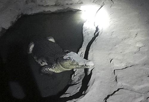 Con cá sấu này dài khoảng 2m. Ảnh: AP.
