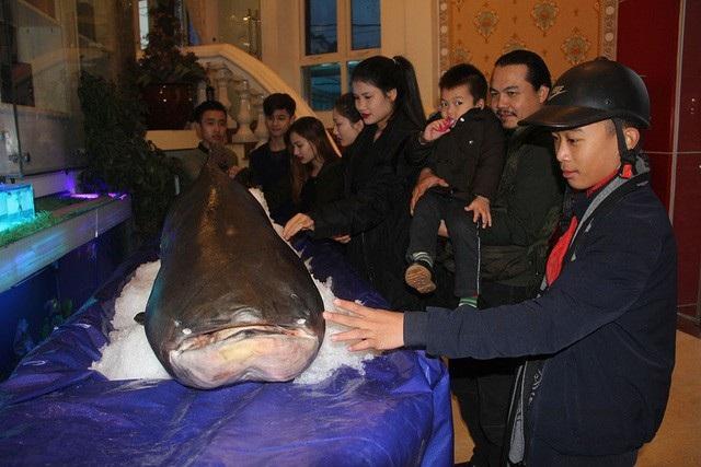 Con cá tra dầu nặng 156 kg, dài 2,3m mắc lưới của ngư dân Campuchia trên sông Mê Kông vừa được đưa về một nhà hàng tại Hà Tĩnh. Đây được xem là loài cá nước ngọt lớn nhất thế giới, nằm trong Sách đỏ Việt Nam, sách đỏ của IUCN, được xếp vào hạng động vật thuộc nhóm cực kỳ nguy cấp, cần bảo tồn. (Ảnh: Hà Phương)