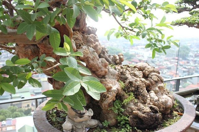 Cây được đánh giá là hội tủ đủ 4 yếu tố: cổ - kỳ - mỹ - văn của một cây cảnh đẹp.