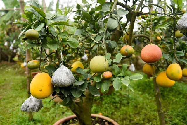 Cây bưởi cảnh ghép quả sẽ đẹp nhất lúc gần Tết âm lịch vì sẽ có đủ hoa, lộc, quả chín và có nhiều màu sắc khác nhau. Loại cây cảnh ghép này có thế đẹp và mức giá tầm trung, dao động từ 1,5 đến 10 triệu đồng/cây. Ảnh: Toàn Vũ