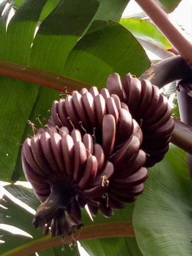 Được biết, giống chuối Dacca có thân màu tím, khi quả còn nhỏ cũng có màu tím thẫm, nhưng khi chín tới sẽ ngả màu tím đỏ.