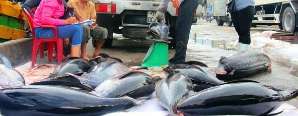 Đầu năm, ngư dân Bình Định trúng đậm cá ngừ sọc dưa, thu về tiền tỷ - 6