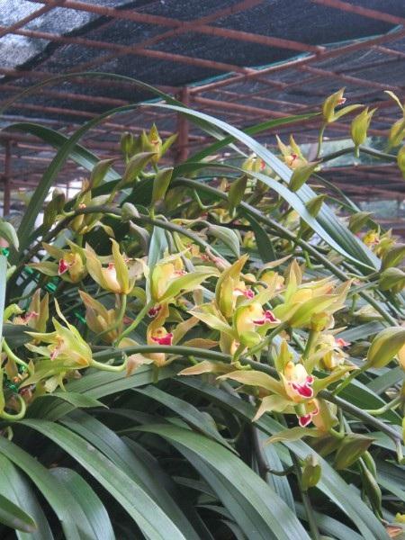 Địa lan Trần Mộng có hương thơm, bền hoa, cành lá xum xuê tượng trưng cho sự may mắn, thịnh vượng nên được nhiều đại gia săn lùng đặt hàng. Ảnh: I.T