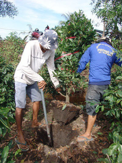 Dưới cái nắng chang chang, các nhân công vật lộn với gốc mai vàng. Họ phải dùng xà-beng bứng cây mai khỏi mặt đất rồi bó gốc lại gọn gàng.