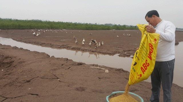 """Ông Trần Văn Tân đang chăm bẵm đàn ngỗng nuôi trên 4ha đất bãi ven sông của gia đình để chuẩn bị bán cho các """"thượng đế"""" ăn Tết."""