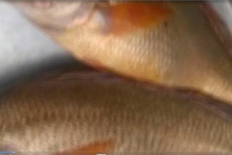 Ba lô 1,5 tỷ đồng mua con cá sủ vàng: Huyền thoại lộc trời - 5