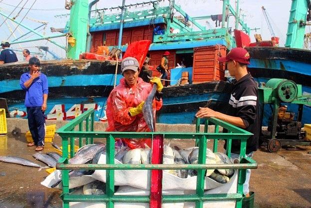Đầu năm, ngư dân Bình Định trúng đậm cá ngừ sọc dưa, thu về tiền tỷ - 3