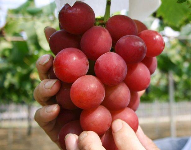 """Lý do thực sự khiến trái cây Nhật Bản có giá """"trên trời"""" - 1"""