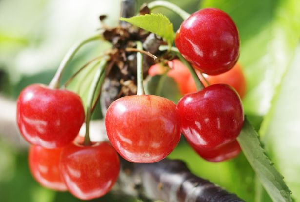 """Lý do thực sự khiến trái cây Nhật Bản có giá """"trên trời"""" - 4"""