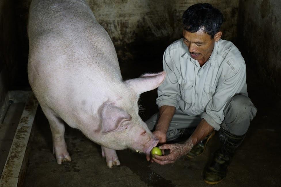 """Kỳ lạ ngôi làng """"quý lợn khác thường"""", ngày ăn cháo trắng tối ngủ mắc màn"""