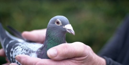 Chú chim đắt nhất thế giới được bán với giá 1 triệu bảng Anh