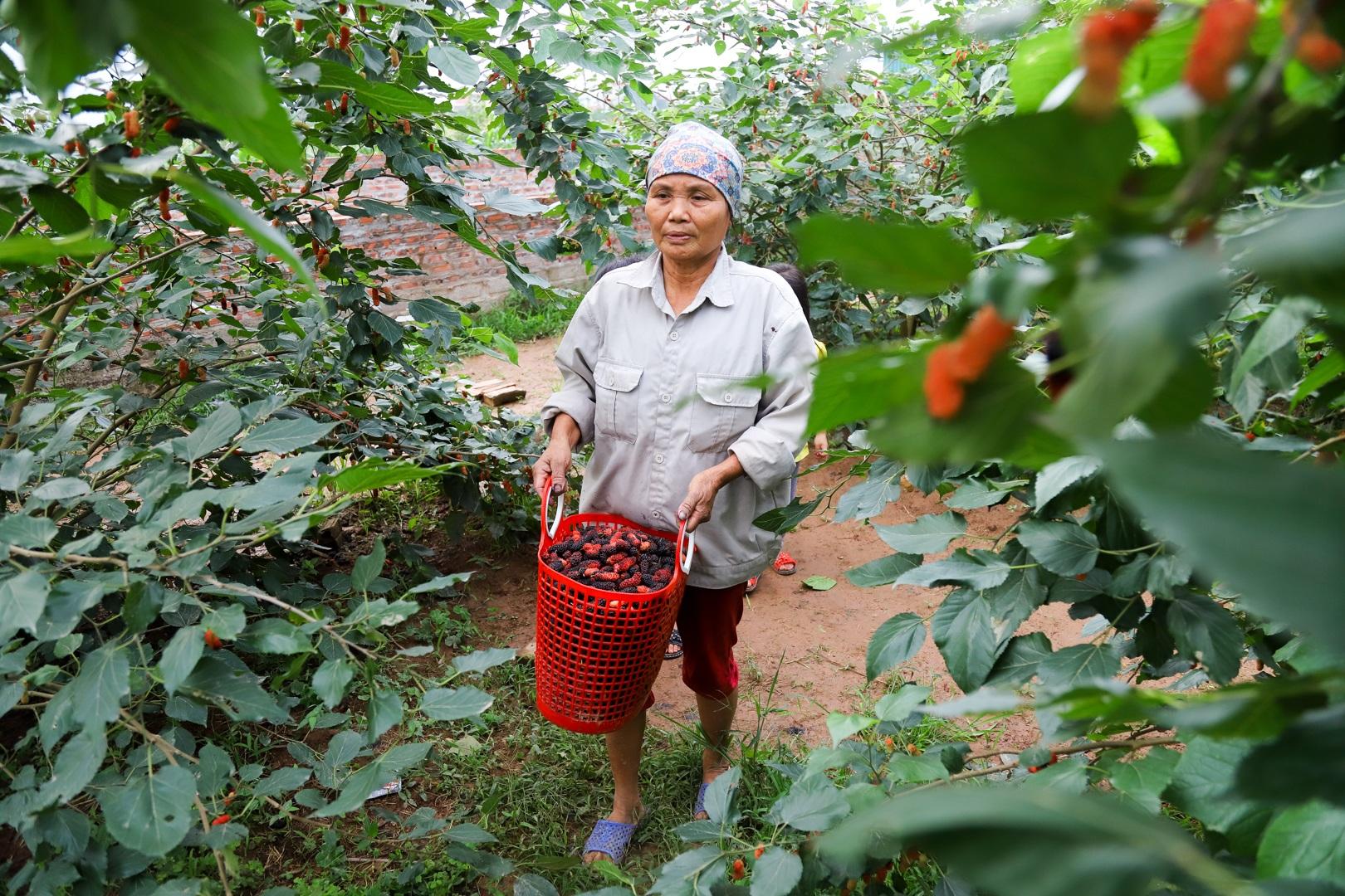 Nông dân ngoại thành Hà Nội mỏi tay thu hoạch dâu chín - 15