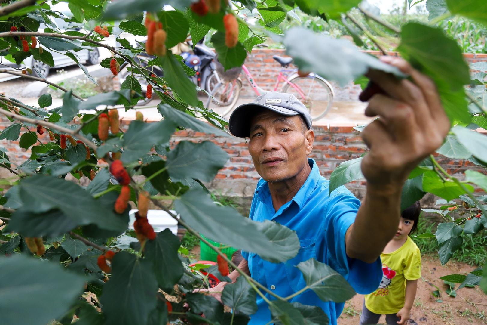 Nông dân ngoại thành Hà Nội mỏi tay thu hoạch dâu chín - 2