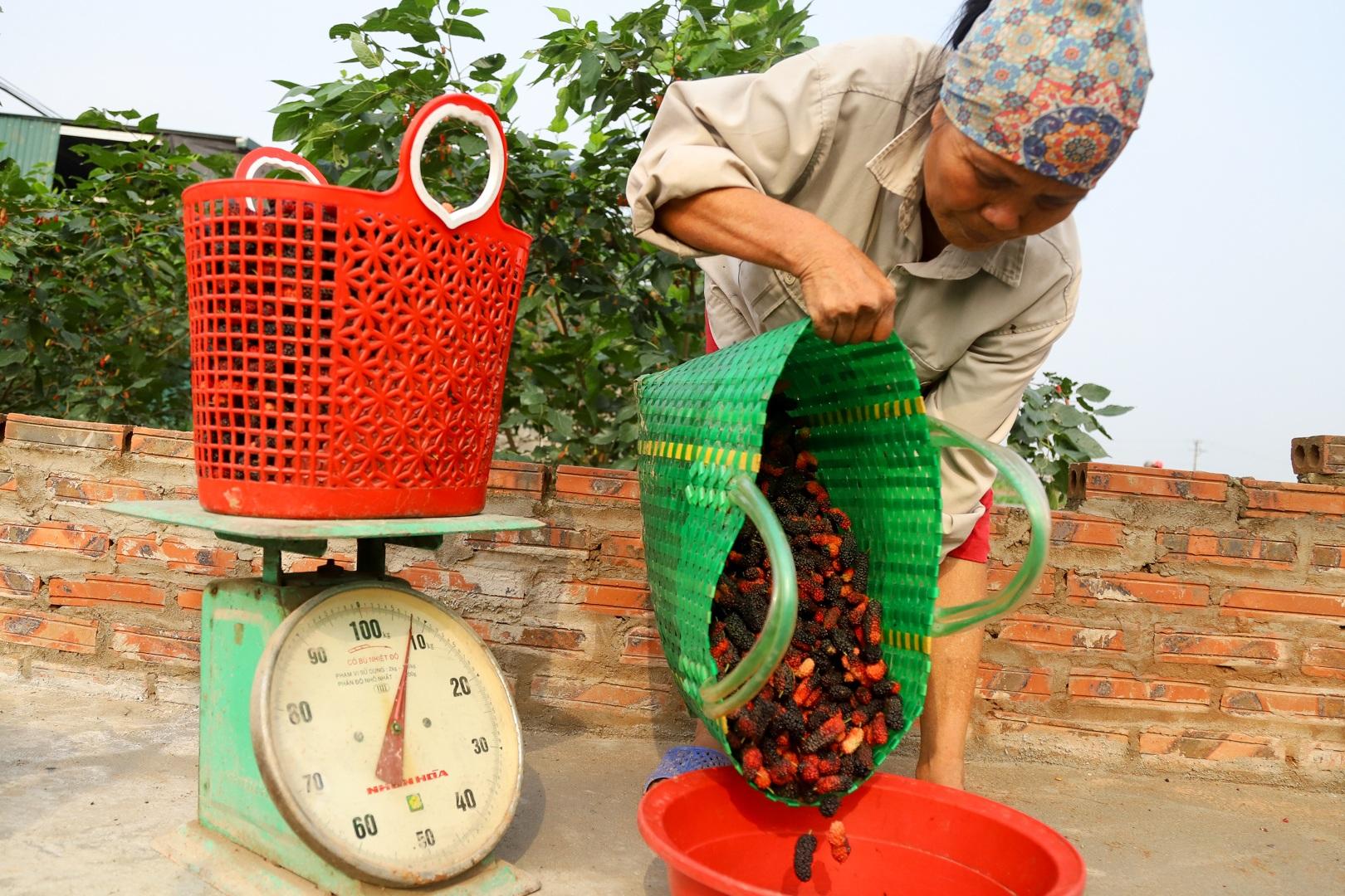 Nông dân ngoại thành Hà Nội mỏi tay thu hoạch dâu chín - 17