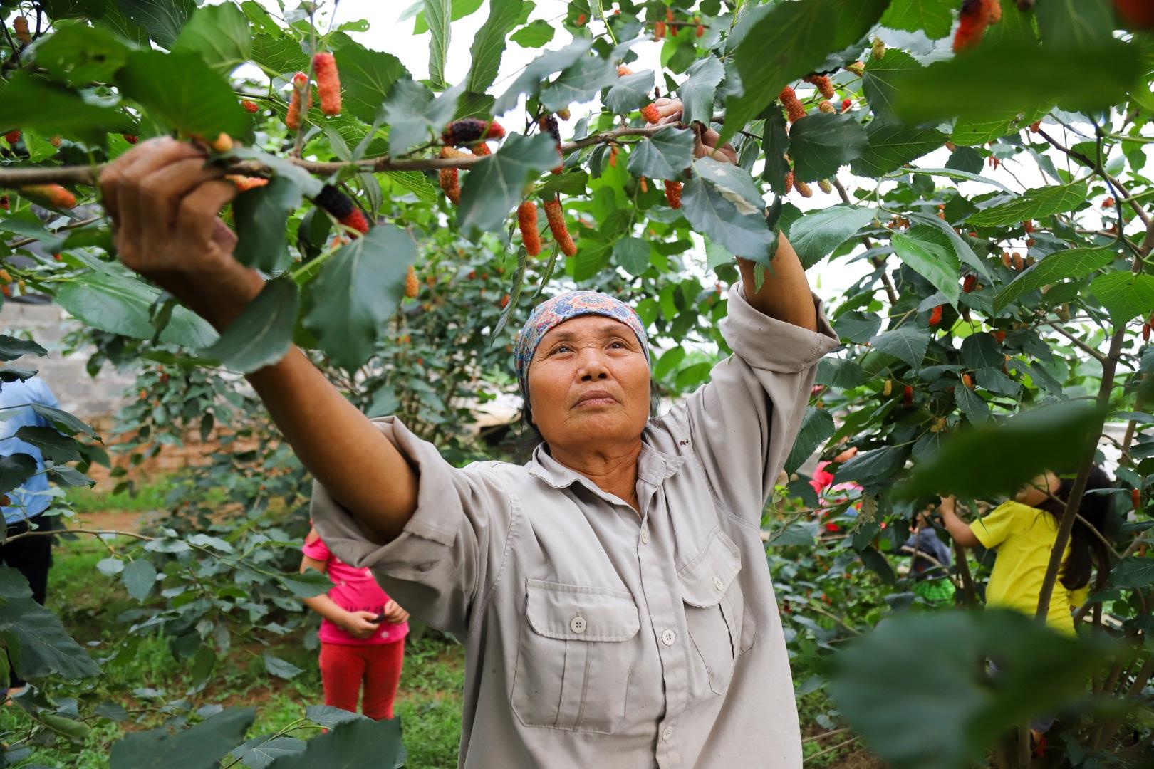 Nông dân ngoại thành Hà Nội mỏi tay thu hoạch dâu chín - 5