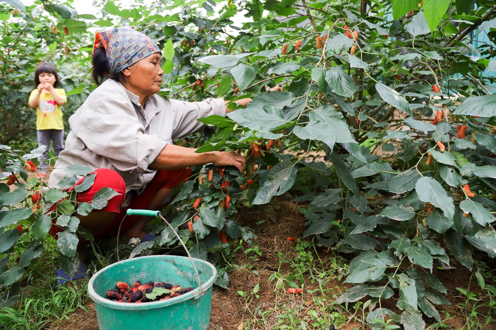 Nông dân ngoại thành Hà Nội mỏi tay thu hoạch dâu chín - 4