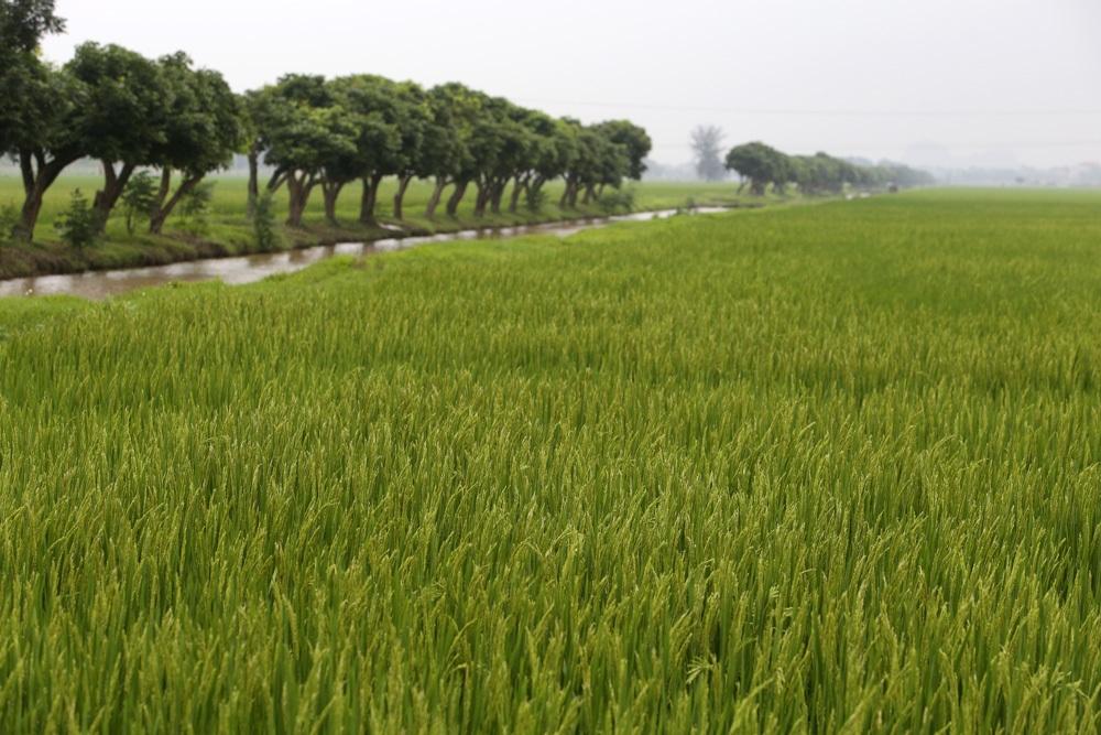 Bức tranh đồng quê xanh ngắt ở ngoại thành Hà Nội - 1