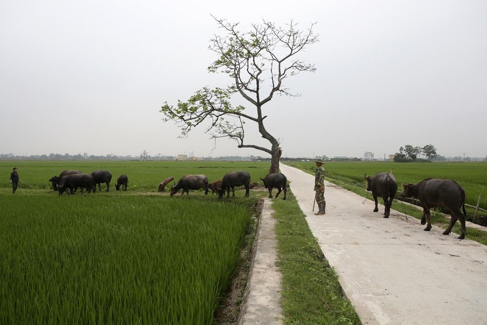 Bức tranh đồng quê xanh ngắt ở ngoại thành Hà Nội - 10