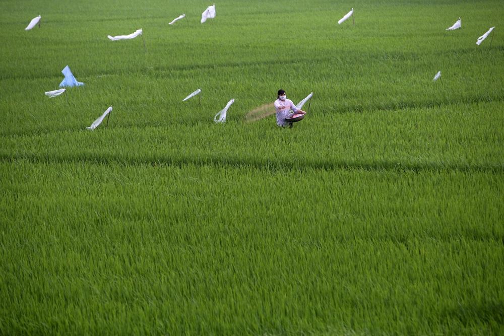 Bức tranh đồng quê xanh ngắt ở ngoại thành Hà Nội - 12