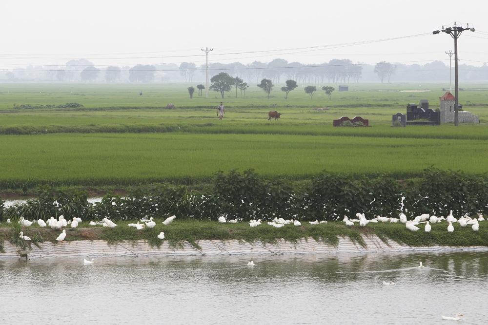 Bức tranh đồng quê xanh ngắt ở ngoại thành Hà Nội - 14